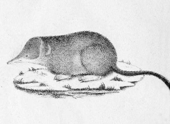 Sorex coronatus 1828.jpg © Pierre-Aimé Millet