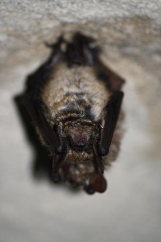 Myotis emarginatus.jpg © Rémi Bigonneau