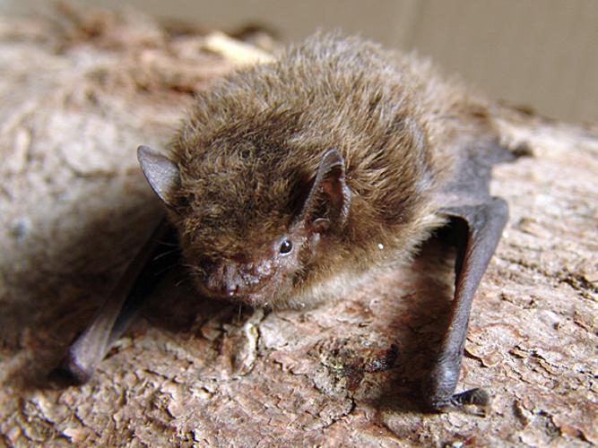 Pipistrellus nathusii.jpg © Mnolf