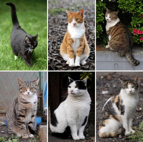 Collage of Six Cats-01.jpg © Caspian blue