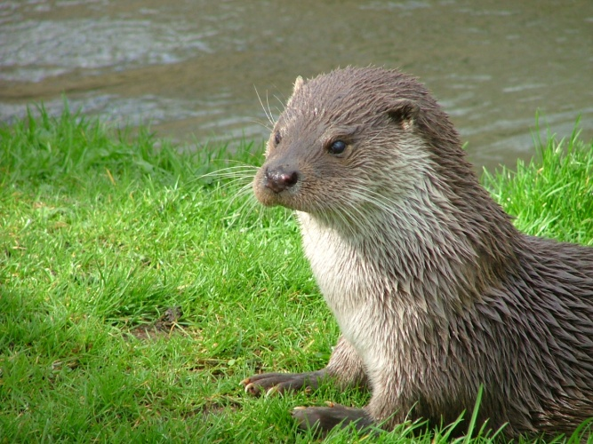 Otter in Southwold.jpg © Catherine Trigg