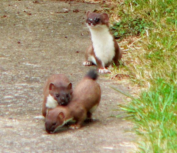 Suffolk-stoats.jpg © Creol