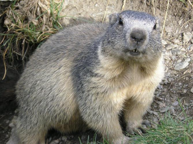 Marmota marmota Alpes2.jpg © François Trazzi.