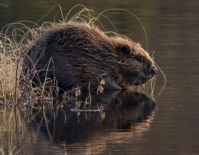 Beaver pho34.jpg © Per Harald Olsen