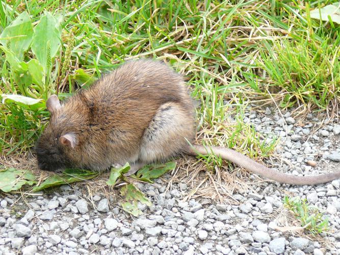 Rattus norvegicus-Rochefort.JPG © Salix
