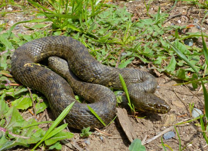 Viperine Snake (Natrix maura) (14198769323).jpg © Bernard DUPONT from FRANCE