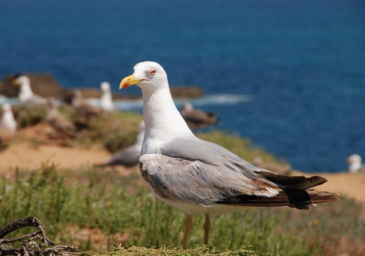 Seagull July 2008-6.jpg © Alvesgaspar