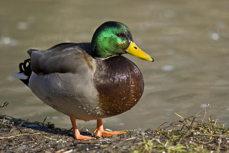 Male mallard duck 2.jpg © Acarpentier