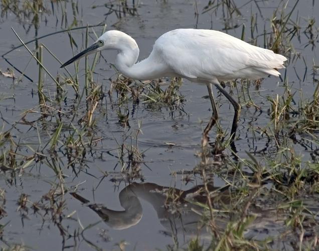 Little Egret Reflection.jpg © Birdman1