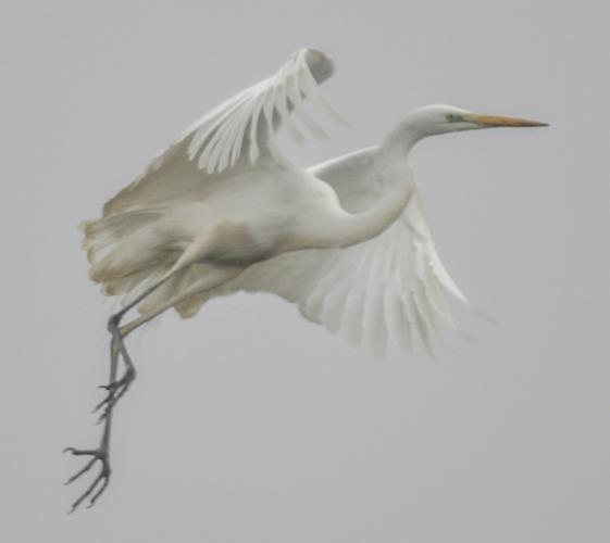 INaturalist egret.jpg © gianluigi