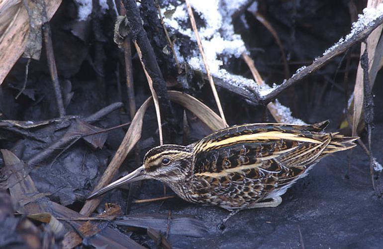 Lymnocryptes minimus (Marek Szczepanek).jpg © Marek Szczepanek