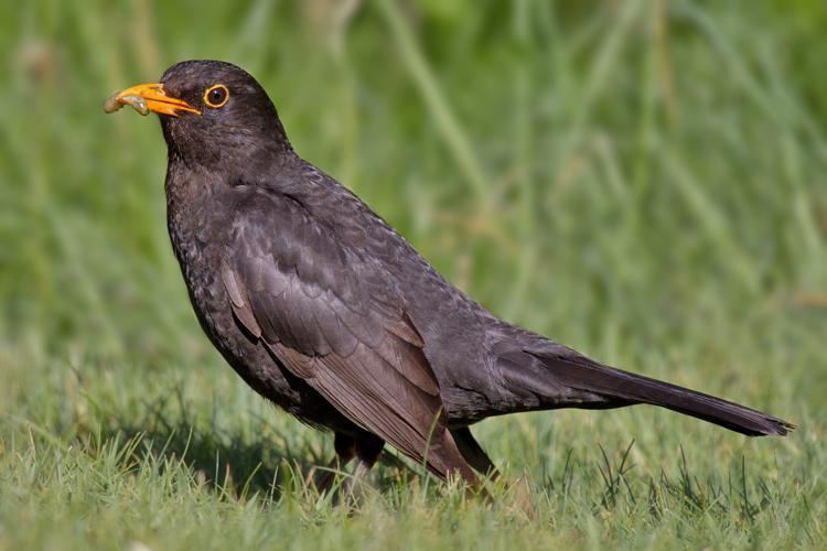Common Blackbird.jpg © Andreas Trepte
