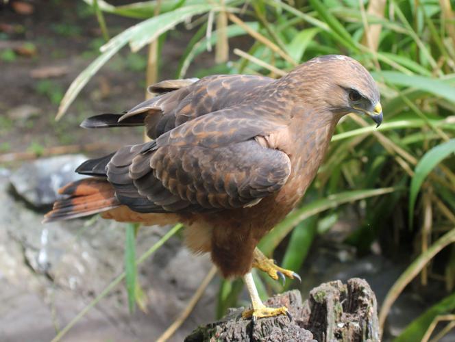 Buteo buteo vulpinus (World of Birds, South Africa).jpg © Dick Daniels (http://carolinabirds.org/)