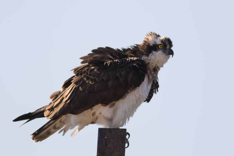Pandion haliaetus - Osprey.jpg © מינוזיג