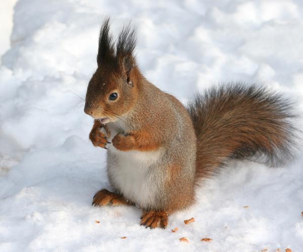 Sciurus vulgaris in snow - Helsinki, Finland.jpg © Tomi Tapio K from Helsinki, Finland