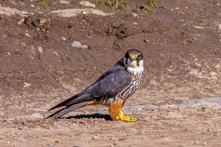 Eurasian Hobby (14574008925) (cropped).jpg © Mike Prince from Bangalore, India