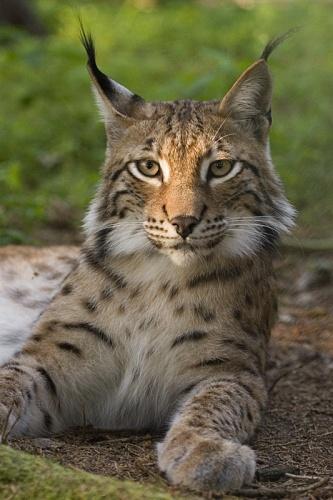 Lynx lynx poing.jpg © Bernard Landgraf (User:Baerni)