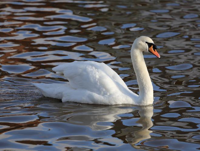 Mute Swan Emsworth2.JPG © Geni