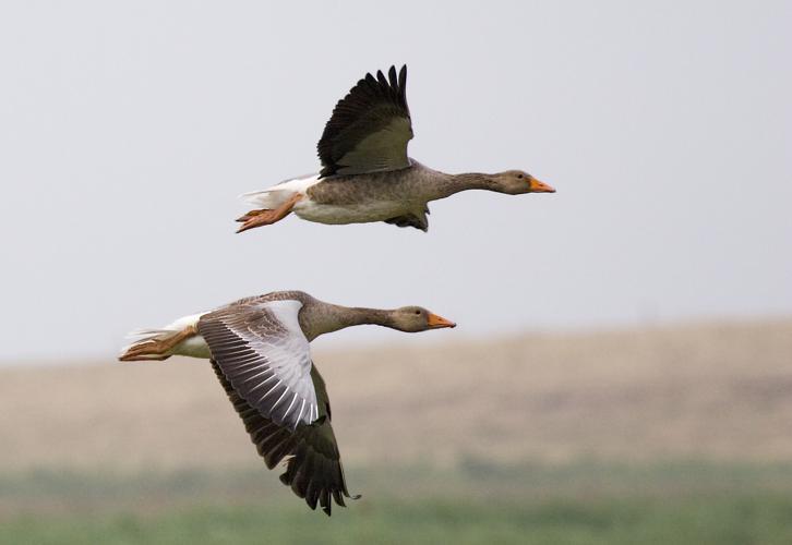 Graylag geese (Anser anser) in flight 1700.jpg © MichaelMaggs