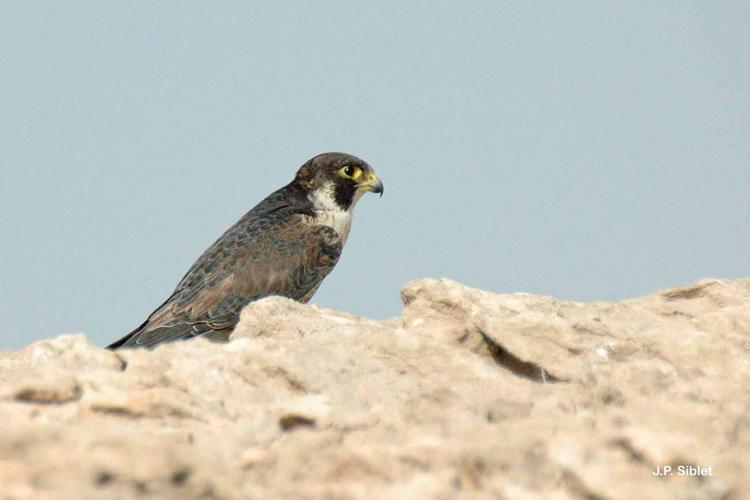 <i>Falco peregrinus calidus</i> Latham, 1790 © J.P. Siblet
