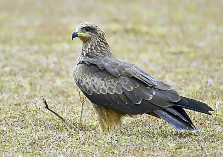 2007-black-kite.jpg © Yathin S Krishnappa