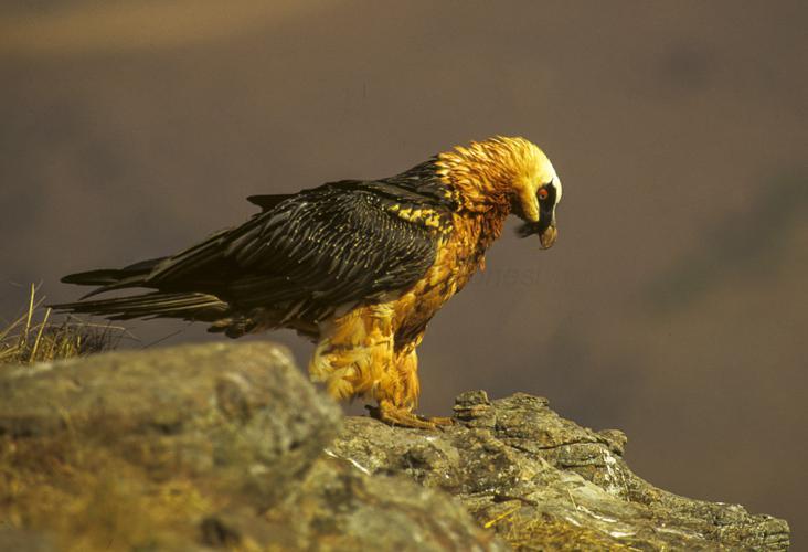 Bearded Vulture - Giant Castle 010001 (15280863060).jpg © Francesco Veronesi from Italy