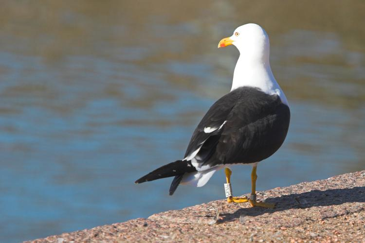 Ringed lesser black-backed gull.jpg © Thermos at fi.wikipedia