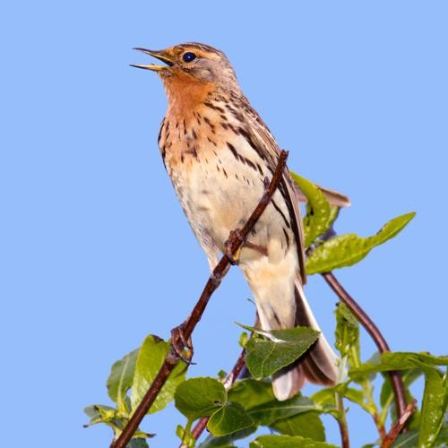 Red-throated Pipit.jpg © Andreas Trepte