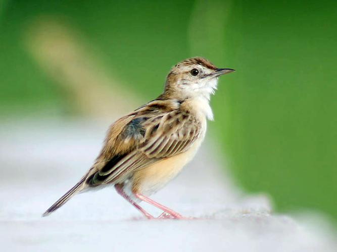 Zitting Cisticola (Breeding plumage) I- Kolkata IMG 5046.jpg © J.M.Garg