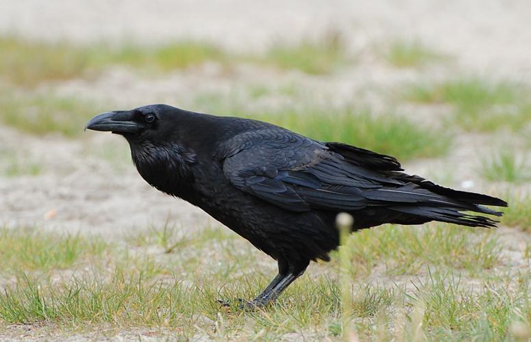 Corvus corax ad berlin 090516.jpg © Accipiter (R. Altenkamp, Berlin)