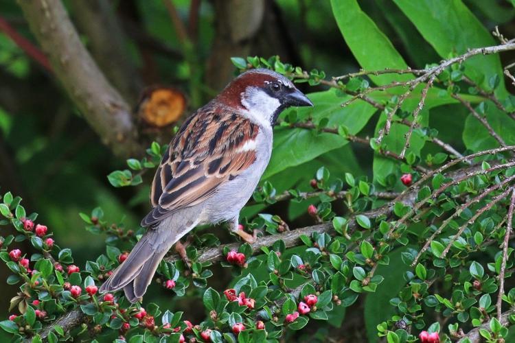 House sparrow (Passer domesticus) male 2.jpg © Charlesjsharp