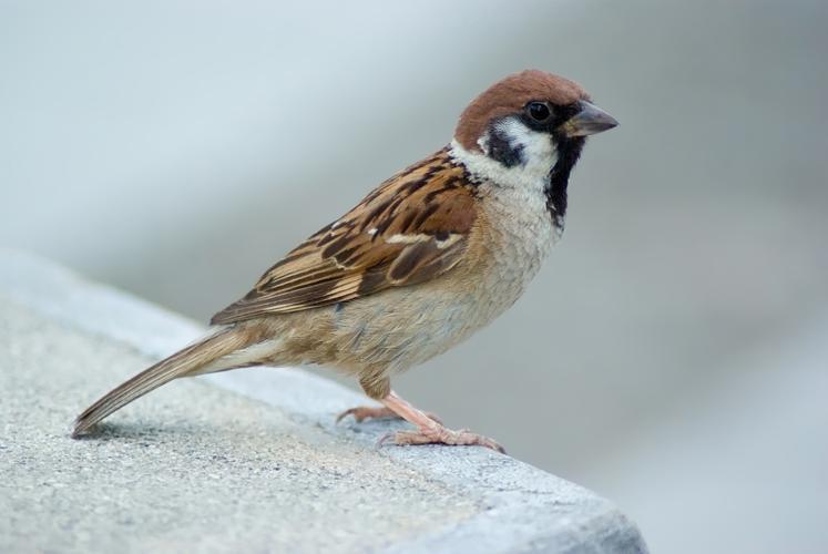 Tree Sparrow August 2007 Osaka Japan.jpg © Laitche